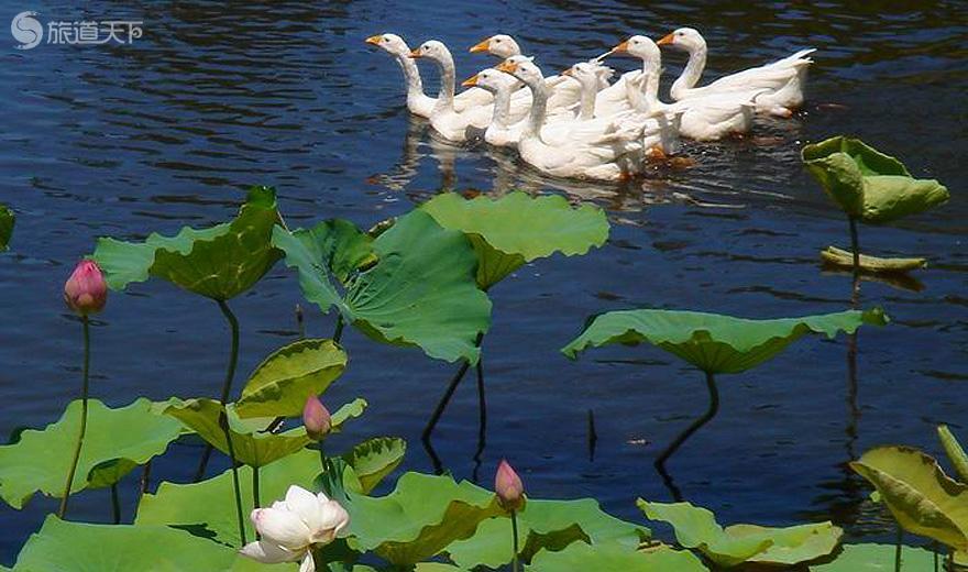 海尾湿地公园荷塘美景