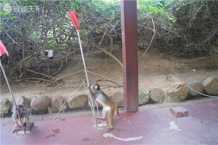 南湾猴岛表演中的猴子